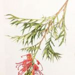 Grevillea, watercolour by Ro Bancroft