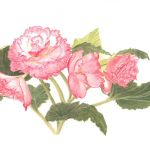 Begonia pink picotee, watercolour by Valerie Richards