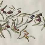 Olive branch, coloured pencil by Connie Venn