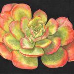 Echeveria x imbricata, coloured pencil by Ro Bancroft