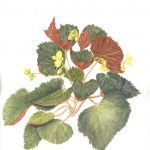 Begonia, watercolour by Valerie Richards