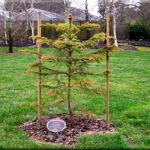New Caledonia Pine (Araucaria columnaris)