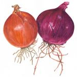 Onions, watercolour by Ro Bancroft